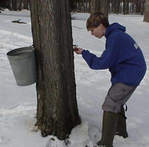 Tapping maple tree.