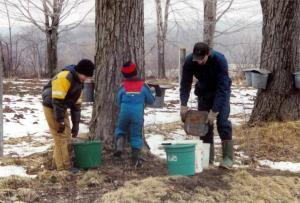 G athering maple sap